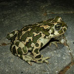 Green Toad (Bufo viridis) female
