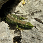 Iberische berghagedis (Iberolacerta monticola)