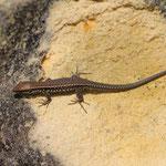 Wall Lizard (Podarcis muralis) juvenile © Laura Tiemann