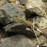 Aeolian Wall Lizard (Podarcis raffonei alvearioi)