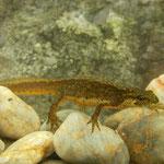 Montandon's Newt (Lissotriton montandoni)