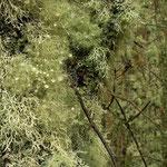 Korstmossen bedekken de meeste bomen in dit deel van de wereld.