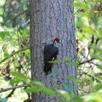 Pileated Woodpeckers (Dryocopus pileatus)