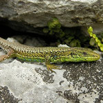 Iberian Rock Lizard (Iberolacerta monticola), Picos de Europa, Spain, April 2012