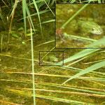 Meerkikker (Pelophylax ridibundus)