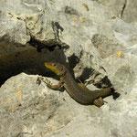 Mosorberghagedis (Dinarolacerta mosorensis)