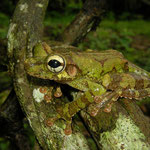 bony headed treefrog (Osteocephalus buckleyi)