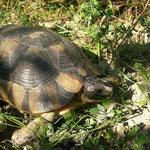 Gekraak in de bosjes duid op schildpadden, hier een prachtige, grote breedrandschildpad (Testudo marginata).