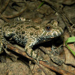 Fire-bellied Toad (Bombina bombina), Bulgarian Black Sea Coast, October 2014