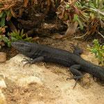 Lilford's Wall Lizard (Podarcis lilfordi)