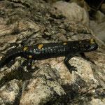 Alpine Salamander (Salamandra atra pasubiensis), Dolomites, Italy, August 2014