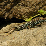 Milos Wall Lizard (Podarcis milensis)