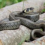 Grass Snake (Natrix natrix) © Laura Tiemann