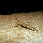 Mantis (Ameles spallanziana)