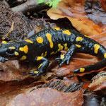 Fire Salamander (Salamandra salamandra) © Laura Tiemann