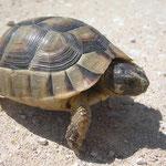 Breedrandschildpad (Testudo marginata) juveniel
