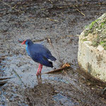Purple Swamphen (Porphyrio porphyrio) also bummed about the weather.