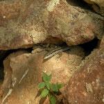 Brilhagedis (Scelarcis perspicillata)