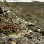 Wipneusadder (Vipera latastei) mannetje