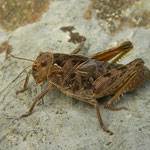 European Giant Steppe Grasshopper (Prionotropis hystrix)