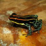 poison frog (Ranitomeya uakarii)