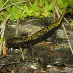 Long-toed Salamander (Ambystoma macrodactylum sigillatum)