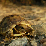 Moorse landschildpad (Testudo graeca graeca) juveniel