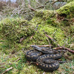 Adder (Vipera berus) in its micro habitat. © Laura Tiemann