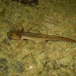 Marmersalamander (Triturus marmoratus) larve