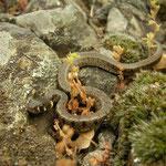 Baby grass snake (Natrix natrix)