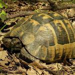 Moorse landschildpad (Testudo graeca)