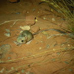 Kangaroo Rat (Dipodomys spec.)