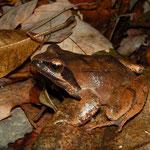 Tago's Brown Frog (Rana tagoi)