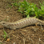 Northern Alligator Lizard (Elgaria coerulea) pregnant female
