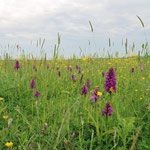 Beautiful flower-rich meadows, I have never seen so many orchids! © Laura Tiemann