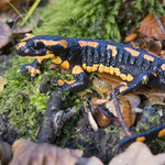 Fire Salamander (Salamandra salamandra terrestris), orangy individual, Flemish Ardennes, Belgium, October 2016