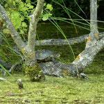 Europese moerasschildpad (Emys orbicularis)
