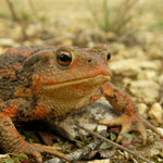 Common Toad (Bufo bufo), brightly coloured female, Lorraine, France, September 2012