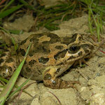 Painted Frog (Discoglossus pictus), Malta, April 2014