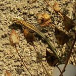 Anatolische muurhagedissen (Anatololacerta anatolica aegeae)