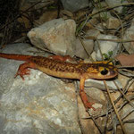 Antalya landsalamander (Lyciasalamandra antalyana)