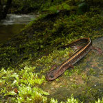 Goudstreepsalamander (Chioglossa lusitanica)