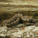 Russische rattenslang (Elaphe schrenckii) juveniel
