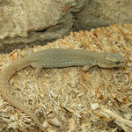 Desert Night Lizard (Xantusia vigilis) adult