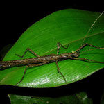 Stick insect (Creoxylus corniger)