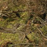 Adder (Vipera berus) 3 mannetjes en 1 wijfje.