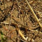 Snake-eyed Lacertid (Ophisops elegans macrodactylus) juvenile