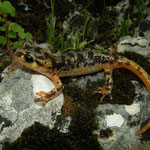 Luschan's Salamander (Lyciasalamandra luschani luschani) juvenile