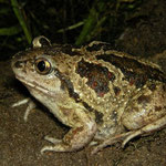Common Spadefoot Toad (Pelobates fuscus), Drenthe, The Netherlands, September 2011