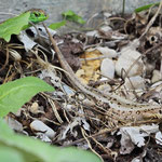 Sand Lizards (Lacerta agilis), along the Isar, Germany, May 2014